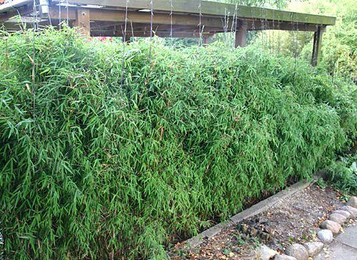 Jade Bambus / Fargesia Spez. U0027Jiuzhaigou 1u0027