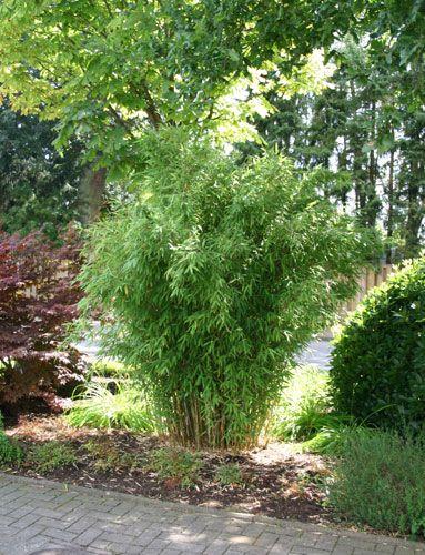 Bambus Pflanzenshop Bambushecken Ohne Auslaufer Sichtschutz Mit