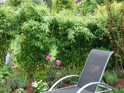 bambus pflanzenshop winterharte sorten heckenpflanzen. Black Bedroom Furniture Sets. Home Design Ideas