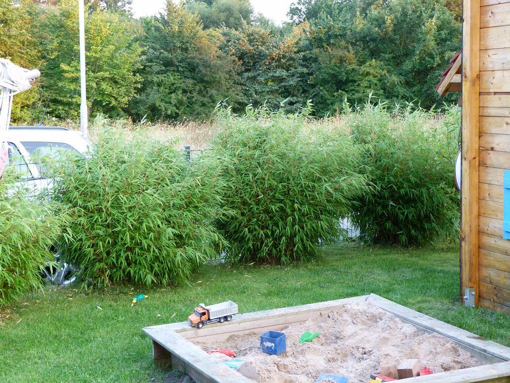 Bambus Pflanzenshop Fargesia Rufa Original Kaufen