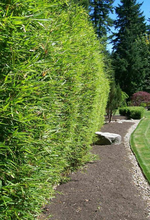bambus pflanzenshop fargesia robusta 39 campbell 39 kaufen. Black Bedroom Furniture Sets. Home Design Ideas