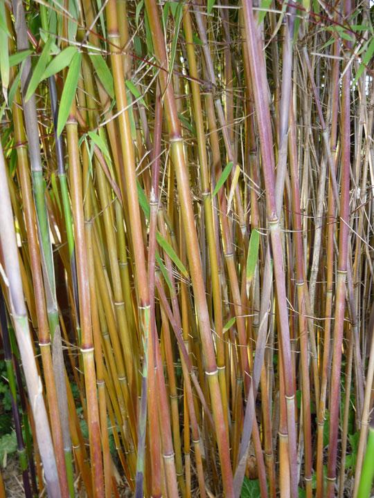 bambus pflanzenshop fargesia spez 39 jiuzhaigou geneve. Black Bedroom Furniture Sets. Home Design Ideas