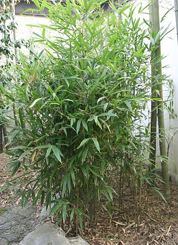 bambus pflanzenshop chimonobambusa quadrangularis kaufen. Black Bedroom Furniture Sets. Home Design Ideas