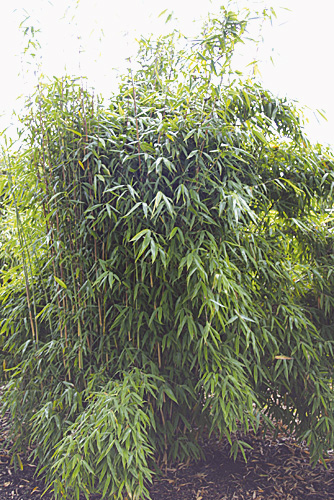 bambus pflanzenshop fargesia murielae 39 fresena 39 kaufen. Black Bedroom Furniture Sets. Home Design Ideas