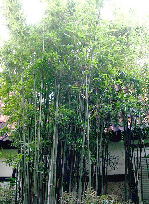 bambus pflanzenshop semiarundinaria fastuosa kaufen. Black Bedroom Furniture Sets. Home Design Ideas
